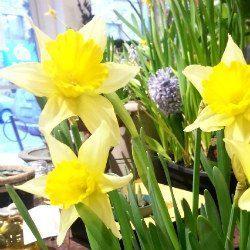 Winter Blues? Spring Bulbs!