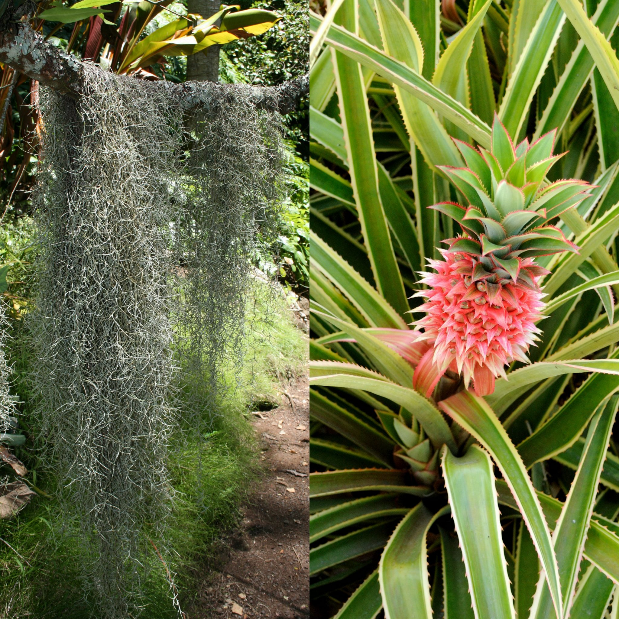 Spanish moss and pineapple
