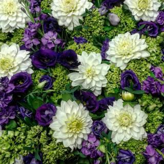 A carpet of dahlias!