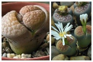 Growing lithops