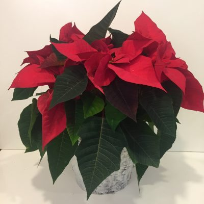 The classic poinsettia!