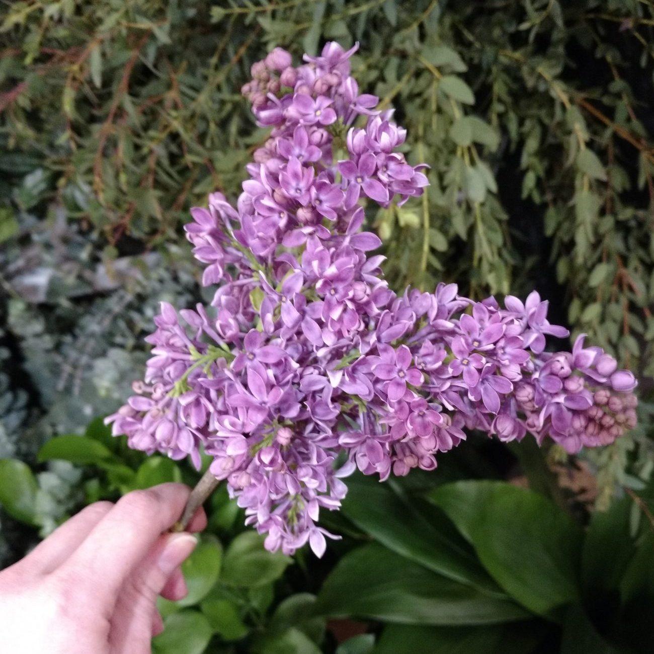 purple lilac stem
