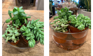 3 succulents in a bowl being watered