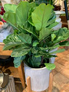 Plant Profile: The Fiddle Leaf Fig