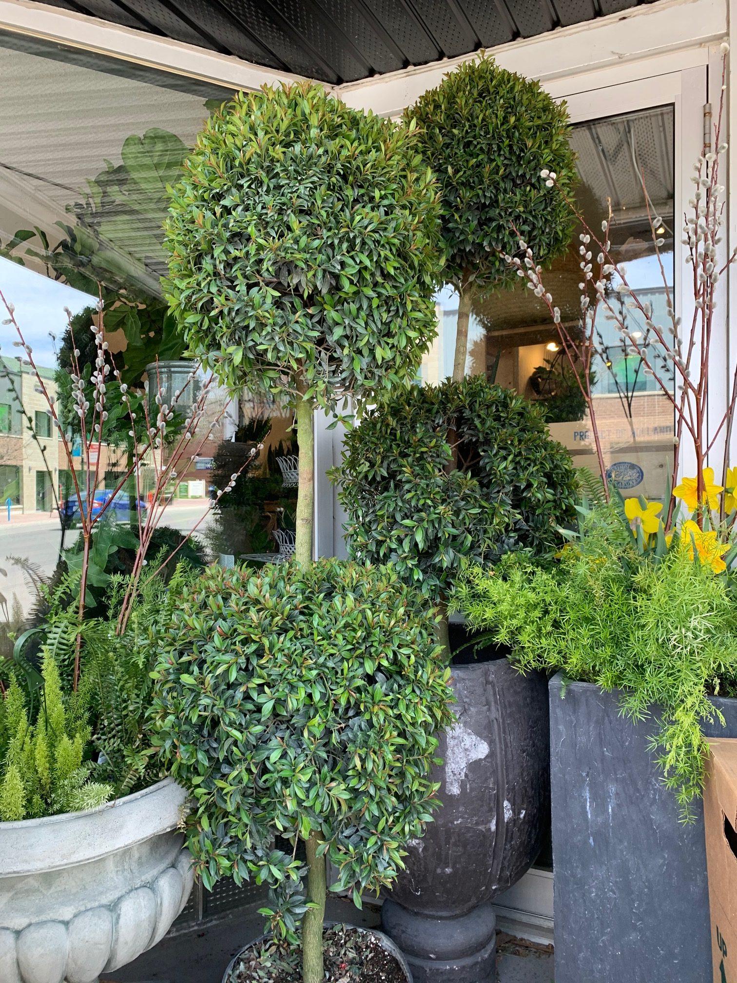 14 Eugenia Topiary X2 Ball Flowers Talk Tivoli