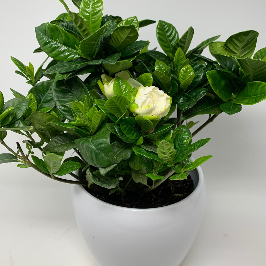 "12"" White Gardenia in White Gloss Pot"