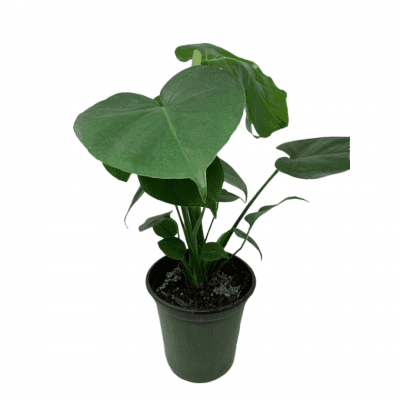4″ PHILODENDRON MONSTERA