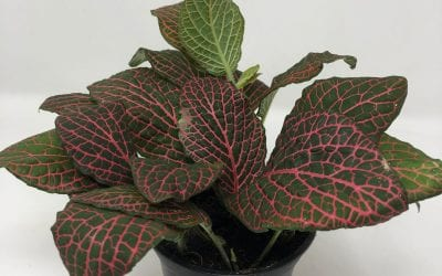 4″ Fittonia – Red