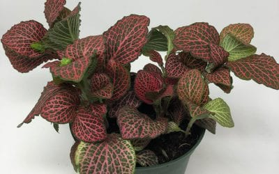 6″ Fittonia – Red