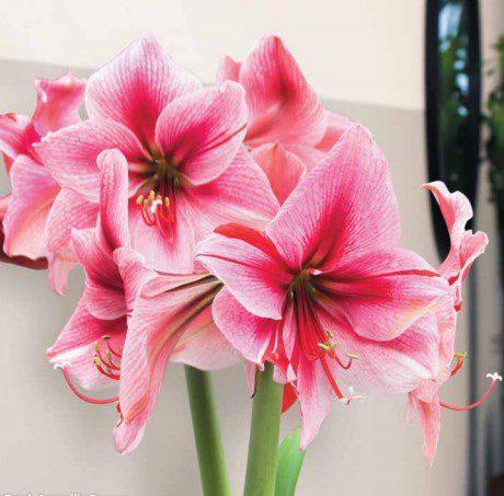 dutch amaryllis gervase - pink flower