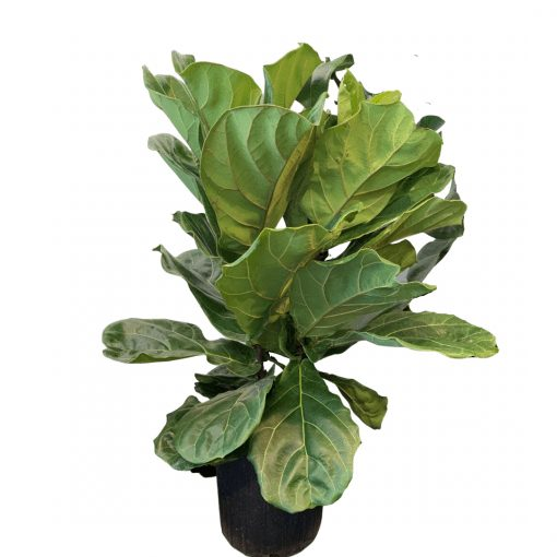 8 inch ficus lyrata bush against a white background